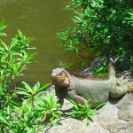Large iguana at the waterfall