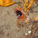 crabs-montezuma-beach-IMG_2144.JPG